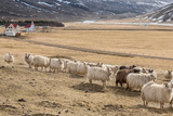 Flock of Sheep, Iceland Fotoprint van Green Light Collection
