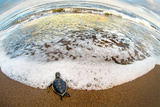 Green Sea Turtle (Chelonia Mydas) Hatchling on Beach, Tortuguero, Costa Rica Photographic Print by Green Light Collection