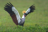 Close-Up of Grey Crowned Crane (Balearica Regulorum), Ngorongoro Crater Photographic Print by Green Light Collection