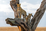 Leopard (Panthera Pardus) Family on Tree, Serengeti National Park, Tanzania Photographic Print by Green Light Collection
