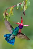 Green Violetear (Colibri Thalassinus) Feeding, Savegre, Costa Rica Fotografisk trykk av Green Light Collection