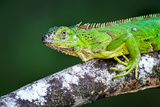 Green Iguana (Iguana Iguana), Tarcoles River, Costa Rica Papier Photo par Green Light Collection
