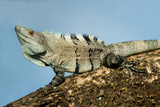 Black Iguana (Ctenosaura Similis), Tarcoles River, Pacific Coast, Costa Rica Photographic Print by Green Light Collection