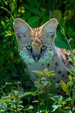 Close-Up of Serval (Leptailurus Serval), Ndutu, Ngorongoro Conservation Area, Tanzania Photographic Print by Green Light Collection