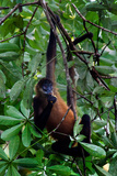 Spider Monkey (Simia Paniscus) on a Tree, Sarapiqui, Costa Rica Photographic Print by Green Light Collection