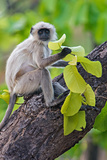 Gray Langur Monkey on Tree, Kanha National Park, Madhya Pradesh, India Photographic Print by Green Light Collection