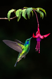 Green Violetear (Colibri Thalassinus) Feeding on a Flower, Savegre, Costa Rica Photographic Print by Green Light Collection