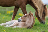 Mare and New Born Foal, Iceland Stampa fotografica di Green Light Collection