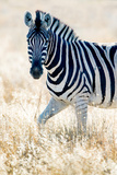 Burchell's Zebra (Equus Quagga Burchellii), Etosha National Park, Namibia Lámina fotográfica por Green Light Collection