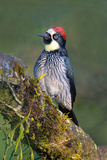 Acorn Woodpecker (Melanerpes Formicivorus), Savegre, Costa Rica Photographic Print by Green Light Collection