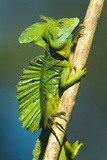 Plumed Basilisk (Basiliscus Plumifrons), Sarapiqui, Costa Rica Photographic Print by Green Light Collection
