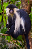 Black-And-White Colobus Sitting on a Tree, Usambara Mountains, Tanzania Photographic Print by Green Light Collection