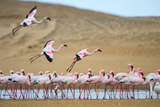 Greater Flamingos (Phoenicopterus Roseus), Namibia Photographic Print by Green Light Collection