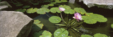 Lotus Flowers and Lilypads in a Pond, Japanese Garden, Honolulu, Oahu, Hawaii, Usa Photographic Print by Panoramic Images