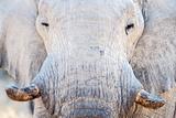 African Elephant (Loxodonta Africana), Etosha National Park, Namibia Fotografisk tryk af Green Light Collection