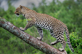 Leopard (Panthera Pardus) Climbing on Tree, Ndutu, Ngorongoro Conservation Area, Tanzania Fotografisk tryk af Green Light Collection