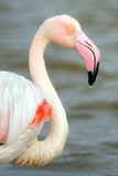 Greater Flamingo (Phoenicopterus Roseus), Namibia Photographic Print by Green Light Collection