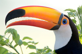 Toco Toucan (Ramphastos Toco), Pantanal Wetlands, Brazil Photographic Print by Green Light Collection