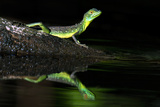 Plumed Basilisk (Basiliscus Plumifrons), Tortuguero, Costa Rica Papier Photo par Green Light Collection
