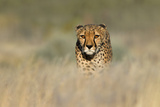 Cheetah (Acinonyx Jubatus) in a Field, Etosha National Park, Namibia Photographic Print by Green Light Collection
