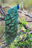Peacock Perching on a Branch, Kanha National Park, Madhya Pradesh, India Reproduction photographique par Green Light Collection
