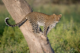 Leopard (Panthera Pardus) on Tree, Ndutu, Ngorongoro Conservation Area, Tanzania Photographic Print by Green Light Collection