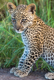 Leopard Cub (Panthera Pardus), Serengeti National Park, Tanzania Photographic Print by Green Light Collection