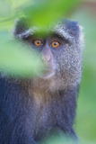 Blue Monkey (Cercopithecus Mitis), Lake Manyara, Tanzania Photographic Print by Green Light Collection