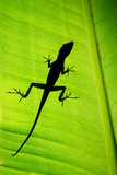 Lizard on Leaf, Sarapiqui, Costa Rica Photographic Print by Green Light Collection