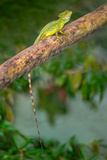 Plumed Basilisk (Basiliscus Plumifrons), Costa Rica Photographic Print by Green Light Collection