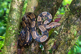 Tree Boa on a Tree, Sarapiqui, Costa Rica Photographic Print by Green Light Collection