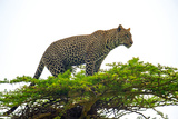 Leopard (Panthera Pardus) Climbing on Tree, Serengeti National Park, Tanzania Photographic Print by Green Light Collection