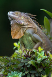 Green Iguana (Iguana Iguana), Sarapiqui, Costa Rica Reproduction photographique par Green Light Collection
