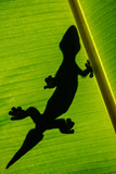 Leopard Gecko (Eublepharis Macularius) on Banana Leaf, Tortuguero, Costa Rica Reproduction photographique par Green Light Collection