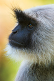 Gray Langur Monkey, Kanha National Park, Madhya Pradesh, India Photographic Print by Green Light Collection