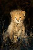 Cheetah (Acinonyx Jubatus) Cub in a Forest, Ndutu, Ngorongoro Conservation Area, Tanzania Fotografisk tryk af Green Light Collection