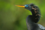 Anhinga (Anhinga Anhinga), Tortuguero, Costa Rica Photographic Print by Green Light Collection