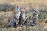 Cheetahs (Acinonyx Jubatus) in a Field, Ndutu, Ngorongoro Conservation Area, Tanzania Photographic Print by Green Light Collection