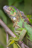 Green Iguana (Iguana Iguana), Sarapiqui, Costa Rica Photographic Print by Green Light Collection