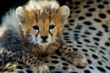 Close-Up of Cheetah (Acinonyx Jubatus) Cub, Ndutu, Ngorongoro Conservation Area, Tanzania Impressão fotográfica por Green Light Collection