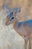 Damara Dik-Dik (Madoqua Kirkii), Etosha National Park, Namibia Fotografisk tryk af Green Light Collection