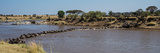 Wildebeests (Connochaetes Taurinus) Crossing a River, Serengeti National Park, Tanzania Photographic Print by Panoramic Images