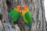 Fischer's Lovebird (Agapornis Fischeri), Ndutu, Ngorongoro Conservation Area, Tanzania Photographic Print by Green Light Collection