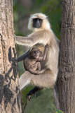 Langur Monkey with its Young One on Tree, Kanha National Park, Madhya Pradesh, India Photographic Print by Green Light Collection