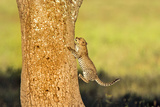 Leopard Cub (Panthera Pardus)Climbing on Tree, Serengeti National Park, Tanzania Photographic Print by Green Light Collection