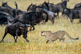 Cheetah (Acinonyx Jubatus) Chasing Wildebeests, Tanzania Photographic Print by Green Light Collection