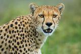Cheetah (Acinonyx Jubatus), Ndutu, Ngorongoro Conservation Area, Tanzania Fotografisk tryk af Green Light Collection