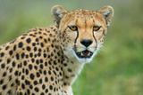 Cheetah (Acinonyx Jubatus), Ndutu, Ngorongoro Conservation Area, Tanzania Photographic Print by Green Light Collection