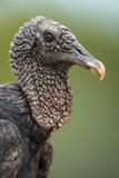 Black Vulture (Coragyps Atratus), Pantanal Wetlands, Brazil Impressão fotográfica por Green Light Collection