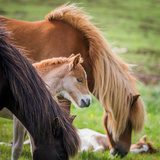 Mare and New Born Foal, Iceland Photographic Print by Green Light Collection